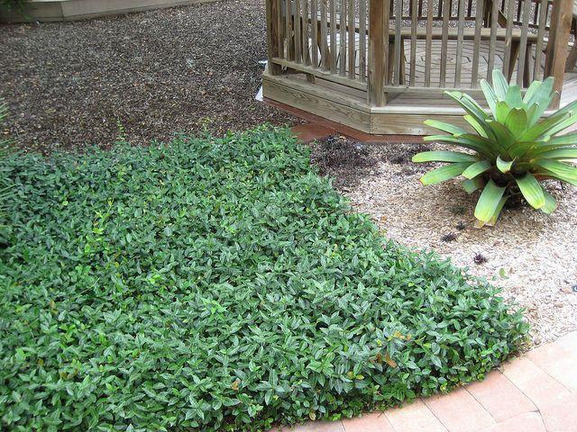 asiatic jasmine ground cover