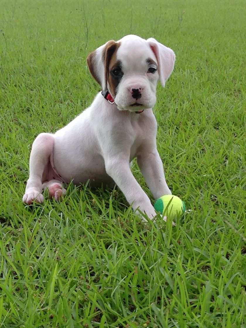 White boxer puppy | My style | Pinterest