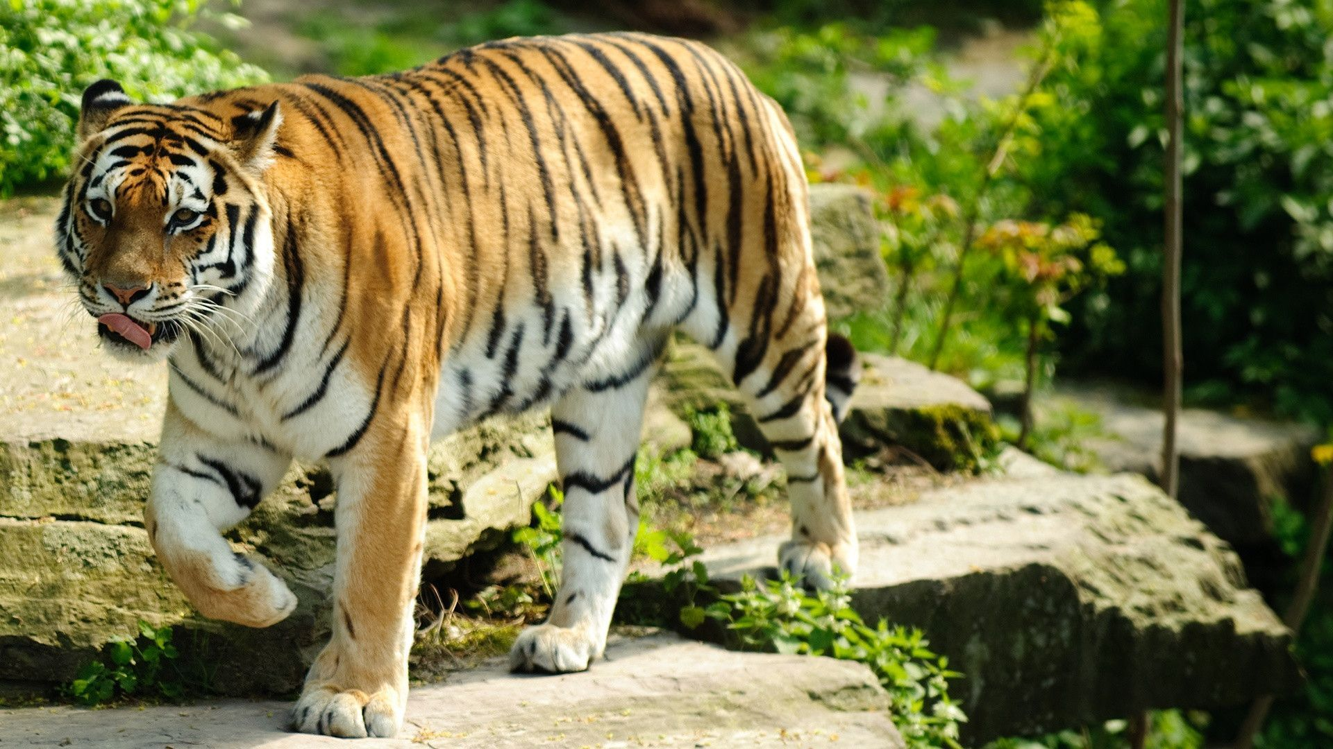 Best Tiger Wallpapers Hd Wallpapers Tiger Wallpaper Animal Wallpaper Pet Tiger