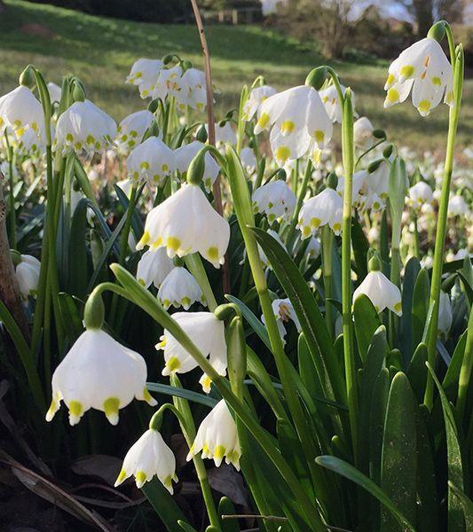 Leucojum Vernum Spring Snowflake Bulbs Bulbous Plants Planting Bulbs Fall Bulbs