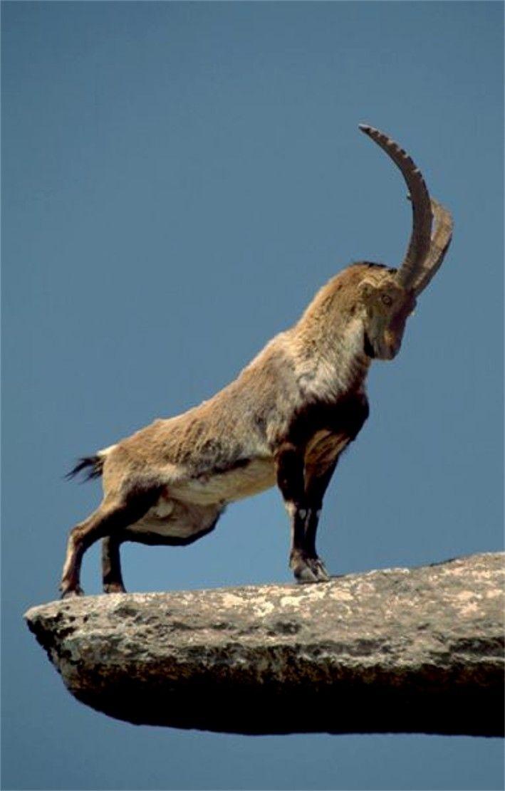 La cabra montés o íbice ibérico es una de las especies de