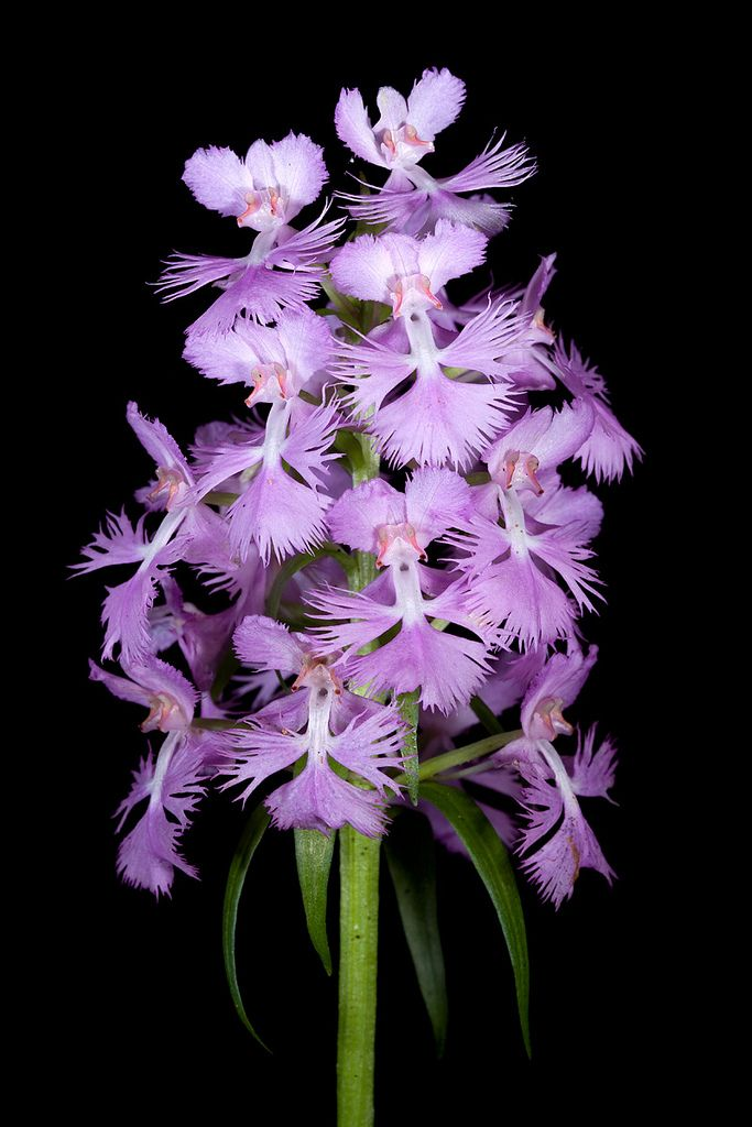 Large-Purple-Fringed Orchid: Platanthera grandiflora - Chattahoochee National Forest, Gilmer County, Georgia - Flickr - Photo Sharing!