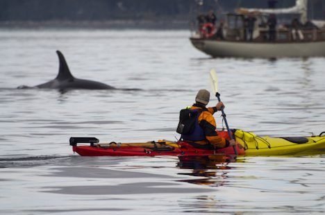 Picture Of A Tourist In A Kayak Watching An Orca Whale Cruise By In The Waters Off Vancouver Island Kayaking Oregon Coast Camping Travel Vancouver Island