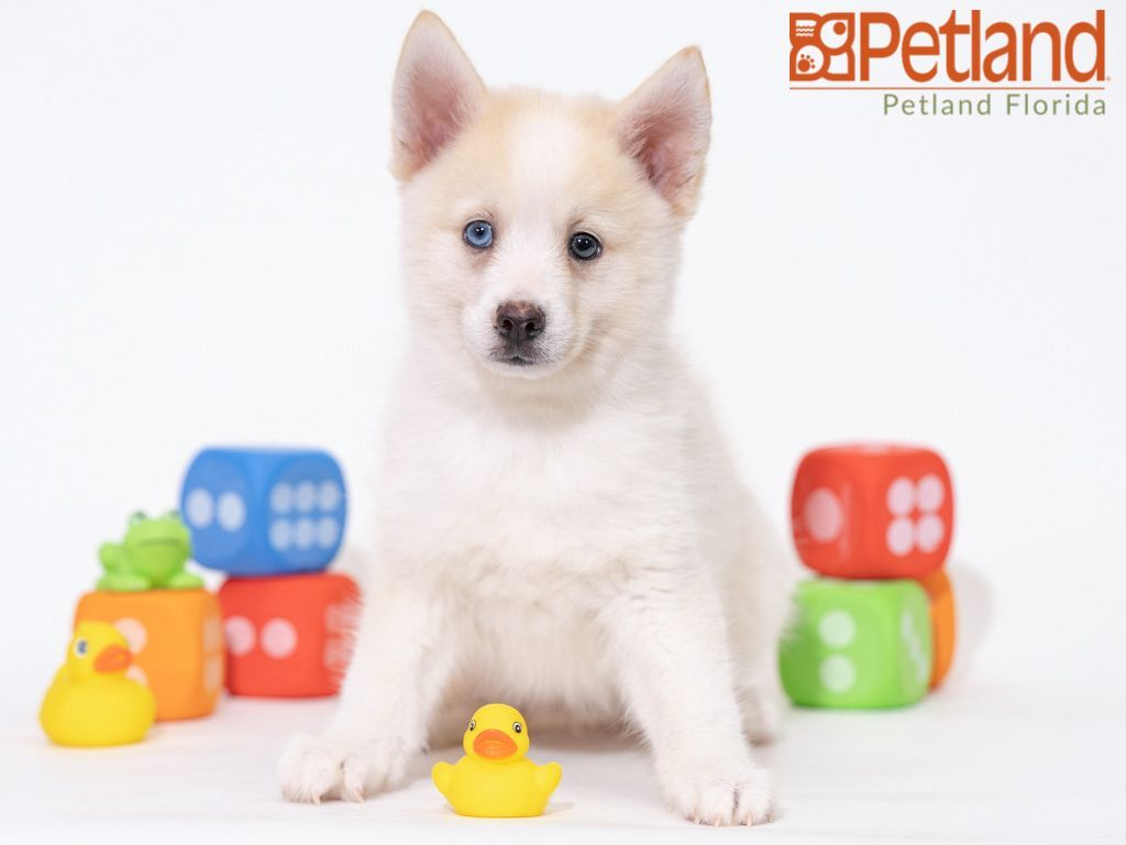 Petland Florida Has Pomsky Puppies For Sale Check Out All Our Available Puppies Pomsky Petlandkendall Pomsky Puppies Puppy Friends Pomsky Puppies For Sale