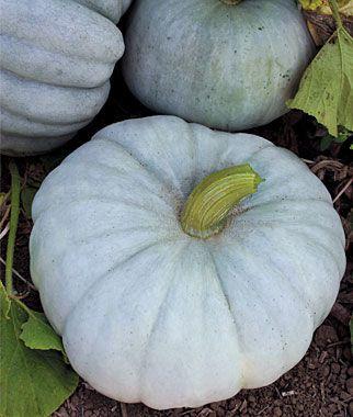 Jarrahdale Pumpkin Seeds and Plants, Vegetable Seeds at Burpee.com.                    White pumpkins.
