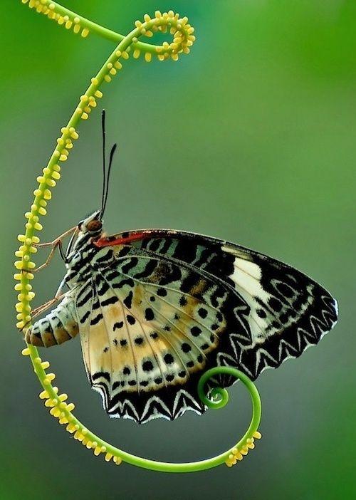 Beautiful Butterfly/ beautiful golden ratio in plant stem. 베스트바카라▶ RPET7.COM ◀베스트바카라베스트바카라베스트바카라베스트바카라베스트바카라베스트바카라베스트바카라베스트바카라베스트바카라베스트바카라