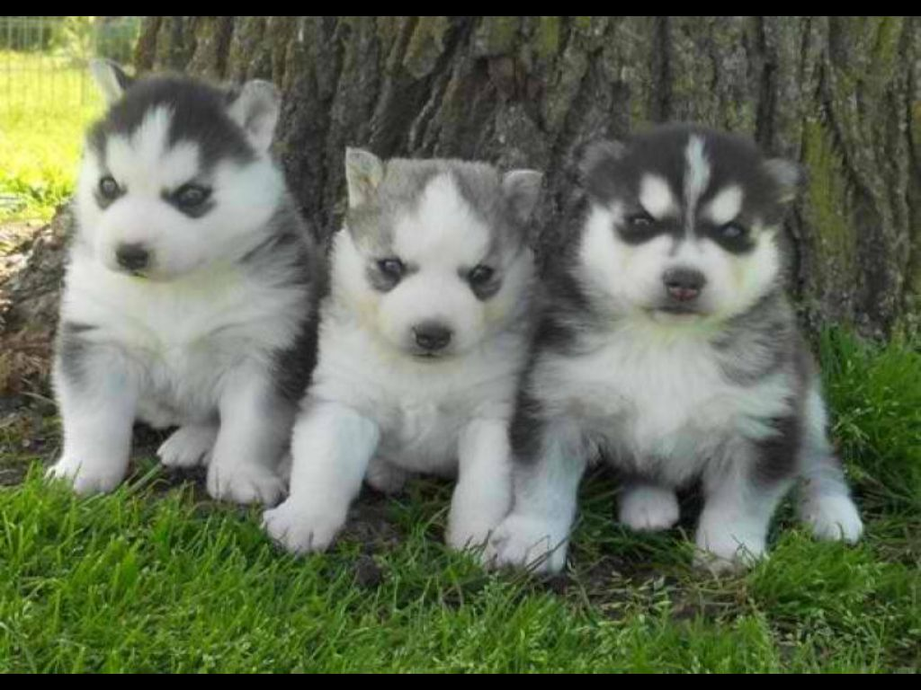 Three chubby huskies