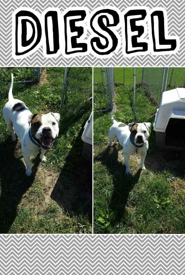 Adopt Diesel on American english bulldog, Save a dog