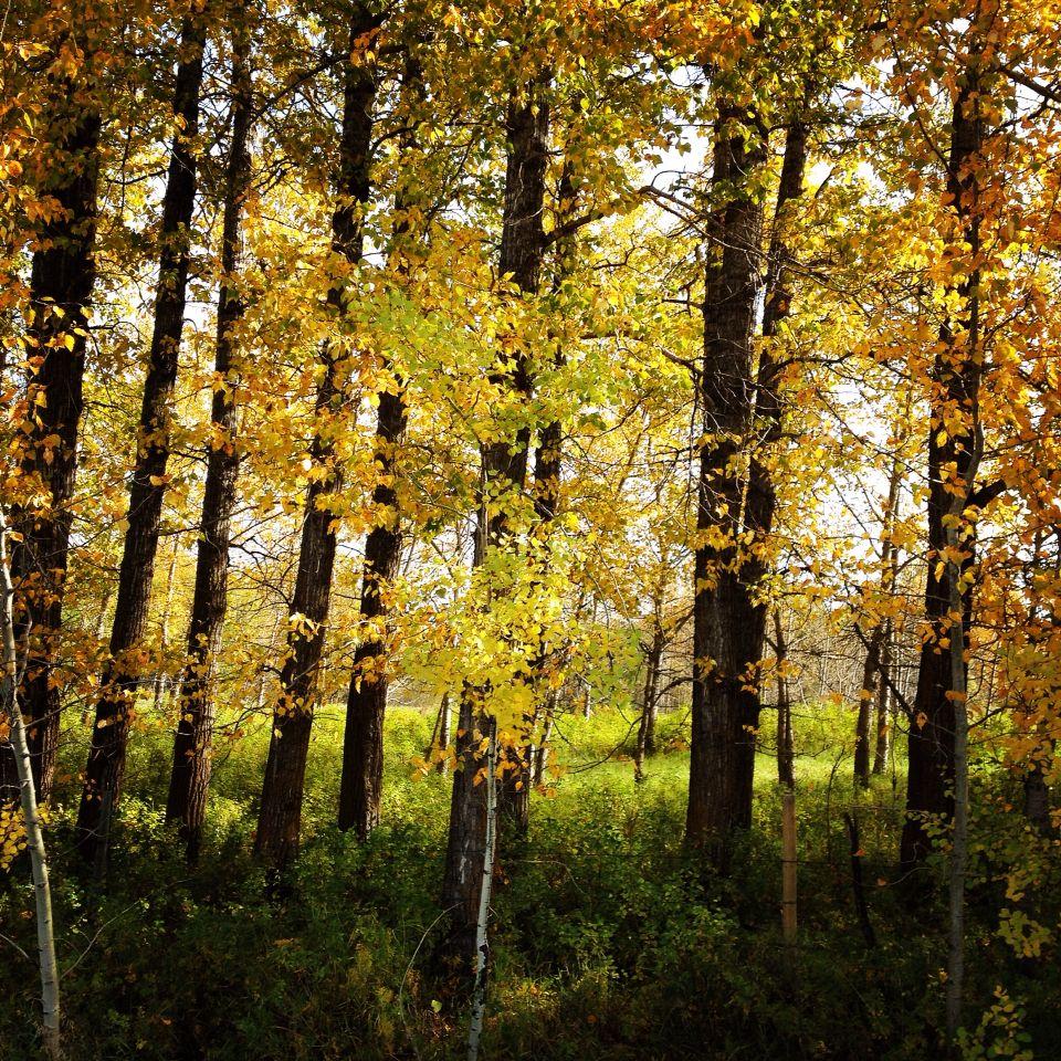 Pretty poplar trees. Myrnam, AB, Canada Poplar tree