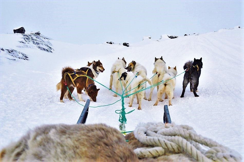 Sled-dogs-struggling-up-hill-in-Greenland
