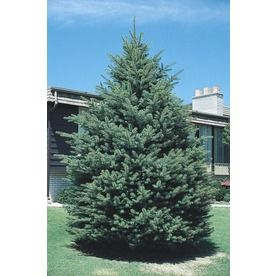Gallon Black Hills Spruce Tree L Landscaping Ideas - Black hills spruce bonsai trees