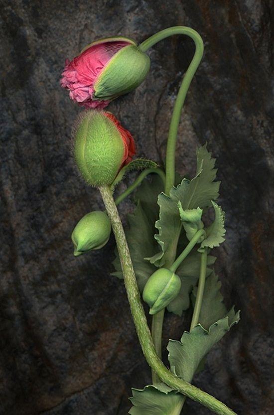 Pin Von Heidi Pribell Interiors Hpi Auf Flowers Mohnblume Blumen Malen Blumen