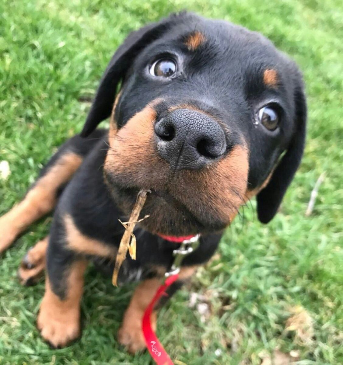 Brutus And His Twig Rottweiler Puppies Dog Rates Animals