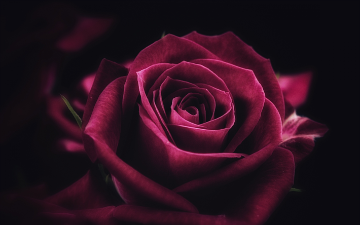 Download wallpapers maroon rose, 4k, closeup, bud, roses
