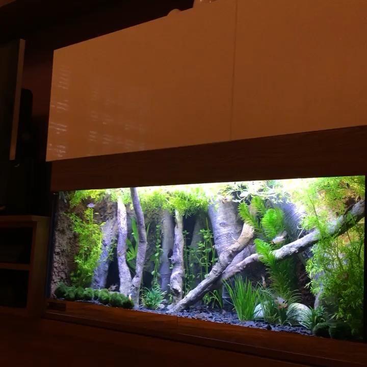 Microgeophagus Ramirezi Fish Tank Video In 2020 Aquarium Architecture Aquarium Fish Fresh Water Fish Tank