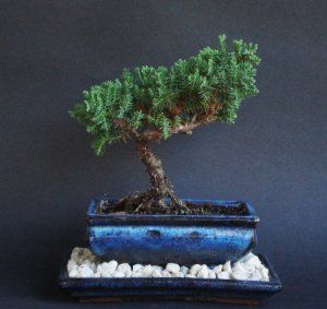Over 5 Years Old Juniper Indoor Bonsai Tree With Natural Rock And Tray By Tropical Nursery 21 00 Makes A Unique Gift This Will