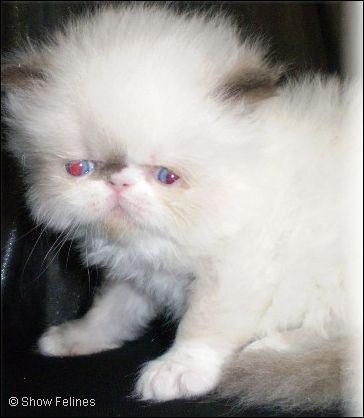 Chocolate White Point Himalayan Kitten 5 Weeks Old Kitten