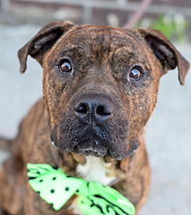 SAFE 02/18/17 --- Brooklyn Center  **FOSTER END – BACK IN SHELTER 02/08/17**   My name is KING TY aka LOWS. My Animal ID # is A1088540. I am a neutered male br brindle am pit bull ter mix. The shelter thinks I am about 5 YEARS old.  I came in the shelter as a STRAY on 09/03/2016 from NY 11212, owner surrender reason stated was STRAY  http://nycdogs.urgentpodr.org/lows-a1088540/