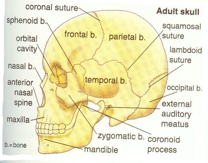 Anatomy Human Body Pinterest Anatomy Facial Bones And Medical