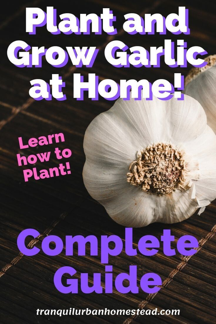 How To Plant Garlic In The Fall For Great Harvests Next ...