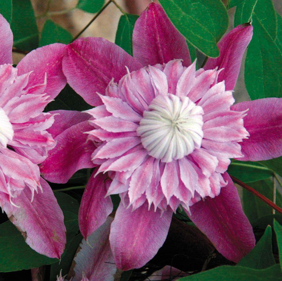 Clematis josephine pp flower power pinterest clematis