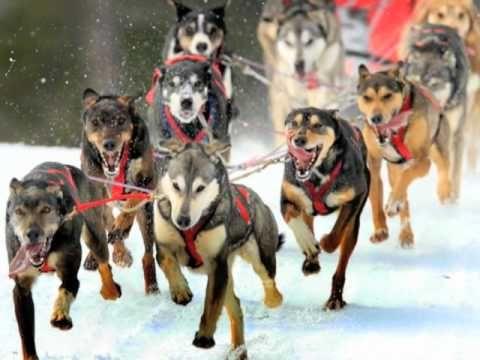 Iditarod Dog Sledding Iditarod Dogs