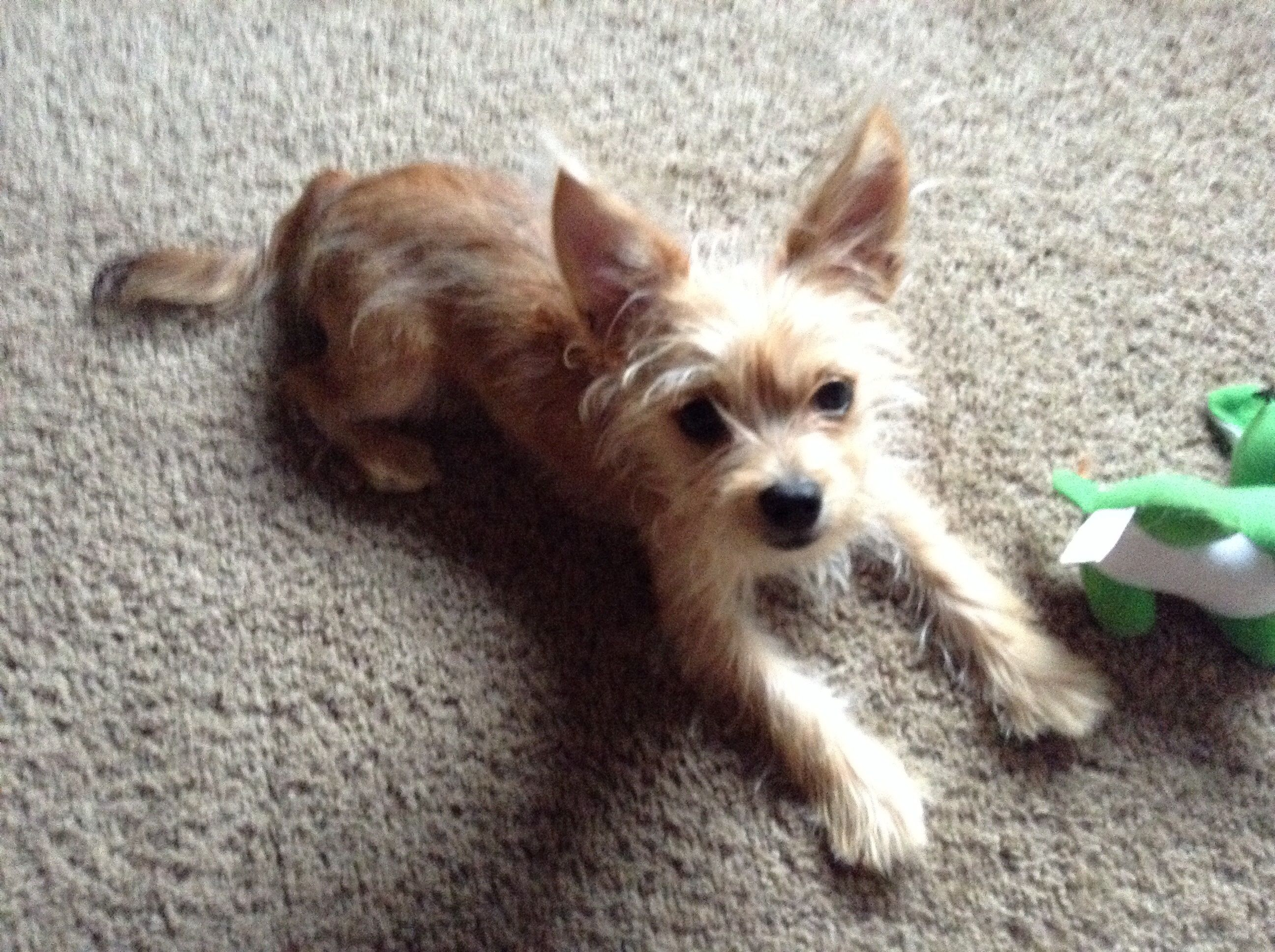Pin By Gail Desantis On Chorkies Cairn Terrier Mix Terrier Mix Shih Tzu Dog