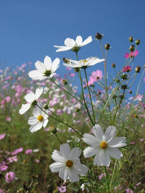 Cosmos Flowers Pictures Trees And Flowers Pictures Cosmos Flowers Picture Tree Cosmos