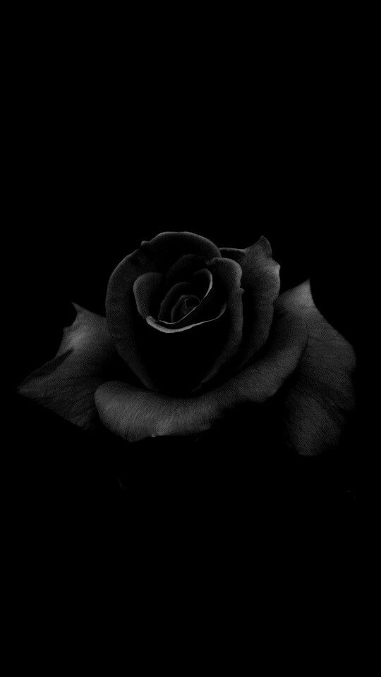 Black Rose Rose Flower Wallpaper Rose Images Rose Wallpaper