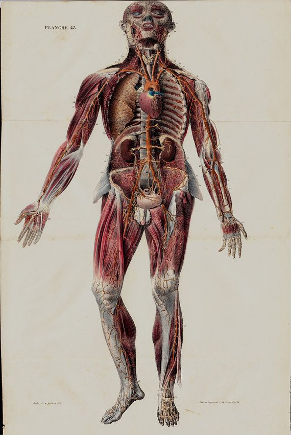 1844 Large Antique Anatomy Chart By Lemercier Lithograph Of A Human