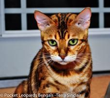 Bengal Cat Breeders Sacramento California Bengal Cat For Sale Bengal Cat Bengal Kitten