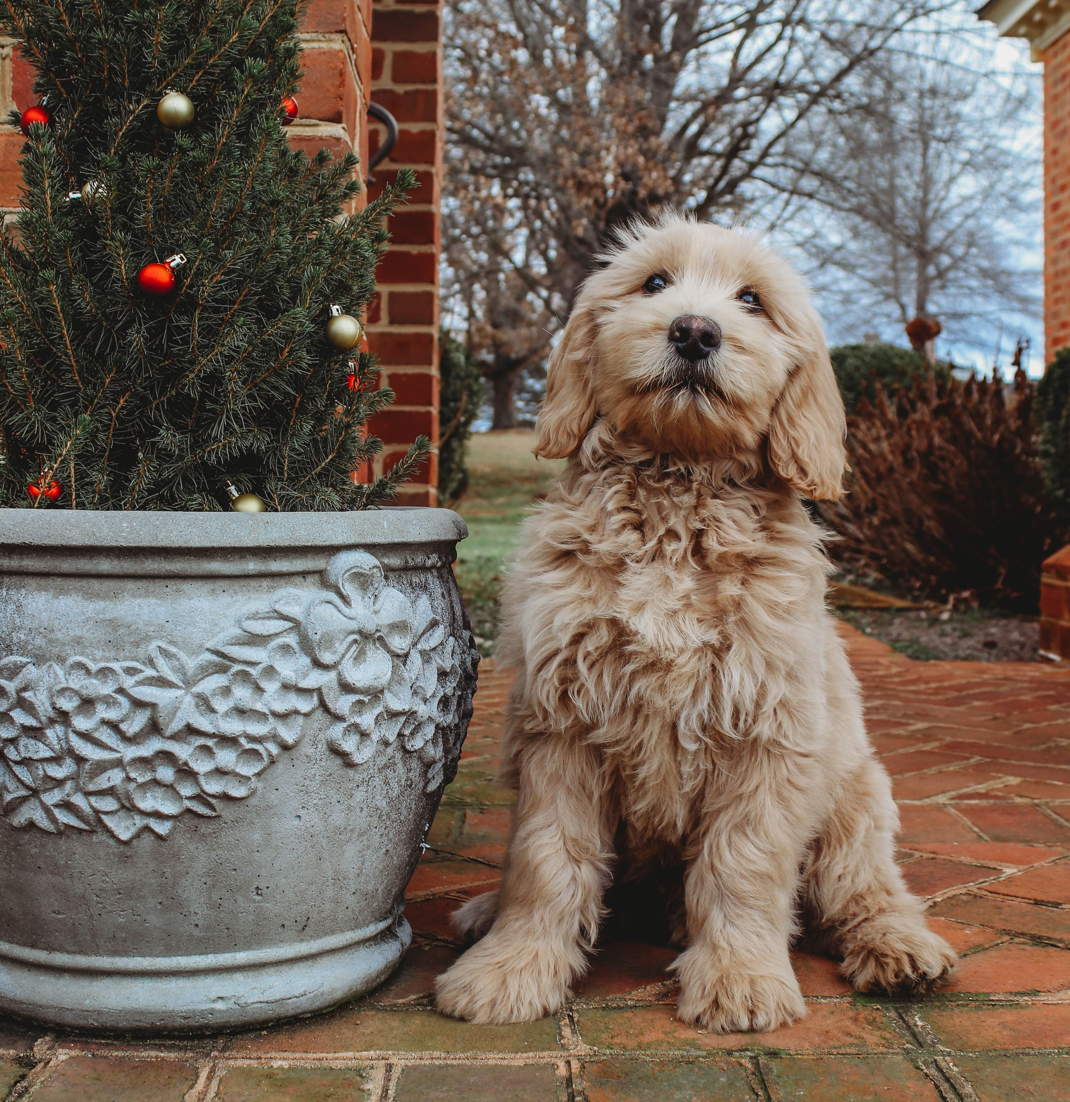 Bear is a light red goldendoodle male enrolled in our