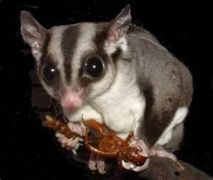 SUGAR GLIDERS: are they just adorable? I want one, but not with (4) dogs(3)ferrets and (1) bird currently. Maybe someday. :)