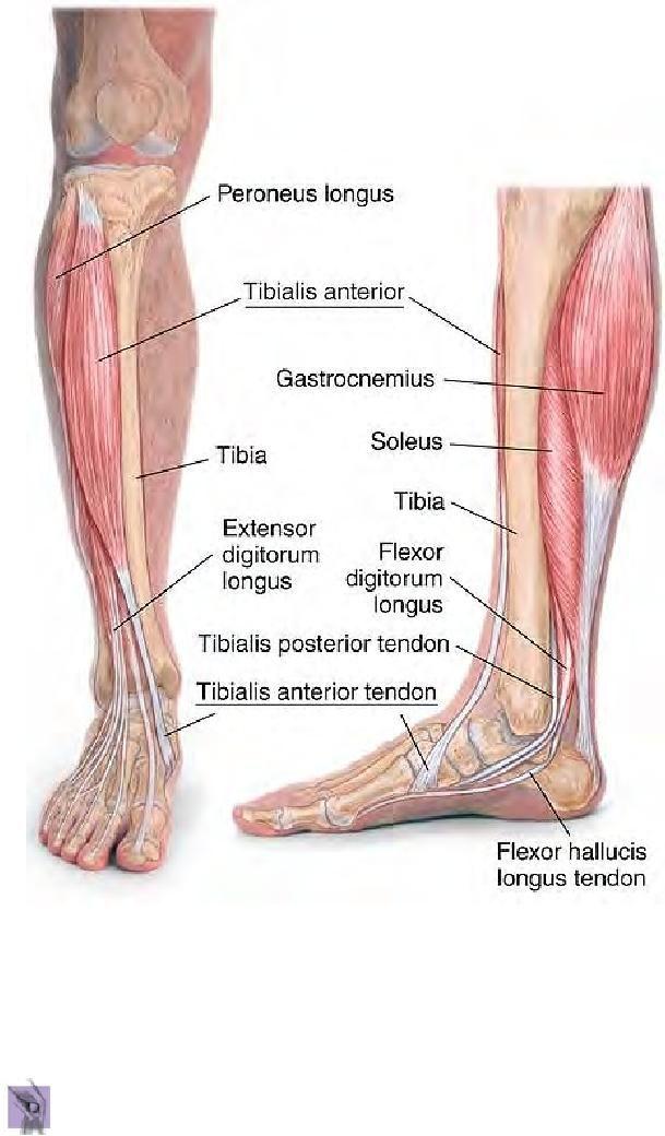 Lower Limb Anatomy   anatomia   Pinterest   Anatomía, Masaje y ...