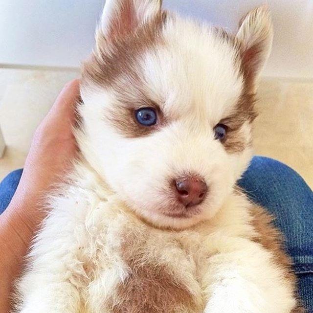 Adorable Husky🐶😀 in 2020   Animal humor dog, Husky puppy ...