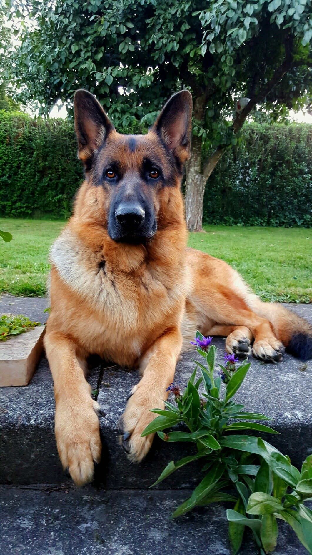 German Shepherd Hope You Re Doing Well From Your Friends At