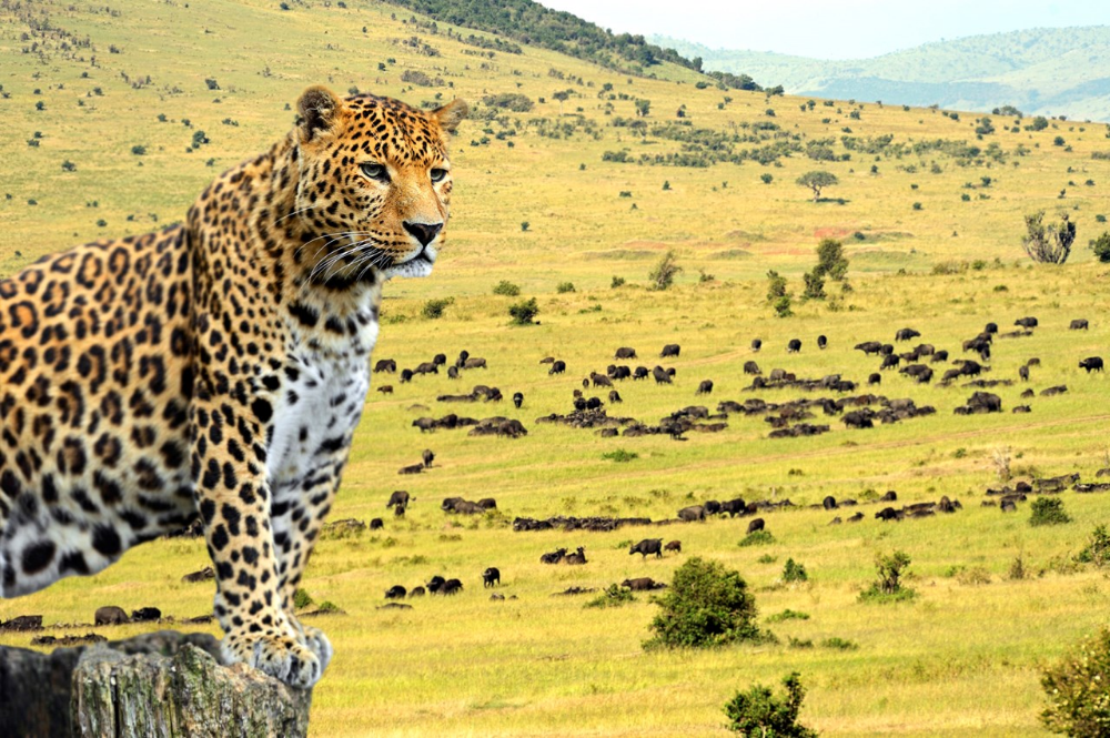 The best places to see leopards in Africa Africa animals