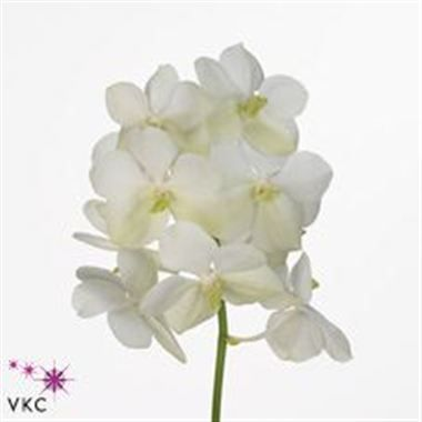 Please Note All Vanda Orchids Are Priced By The Flower Bloom Not By The Stem There Are Multiple Flower Blooms Per S Wholesale Flowers Orchids Vanda Orchids