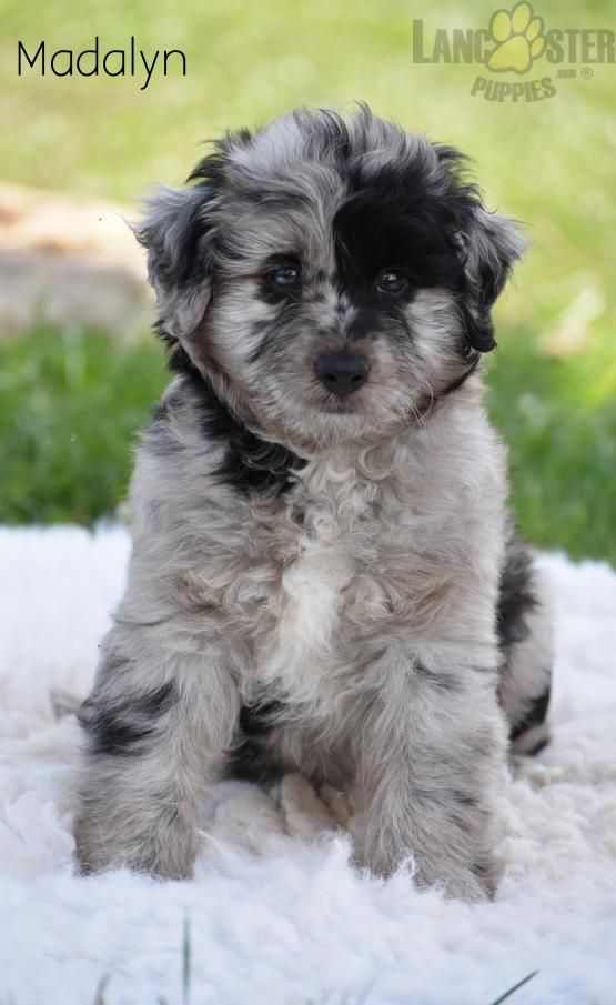 Madalyn Blue Merle!!! Mini Aussiedoodle Puppy for Sale