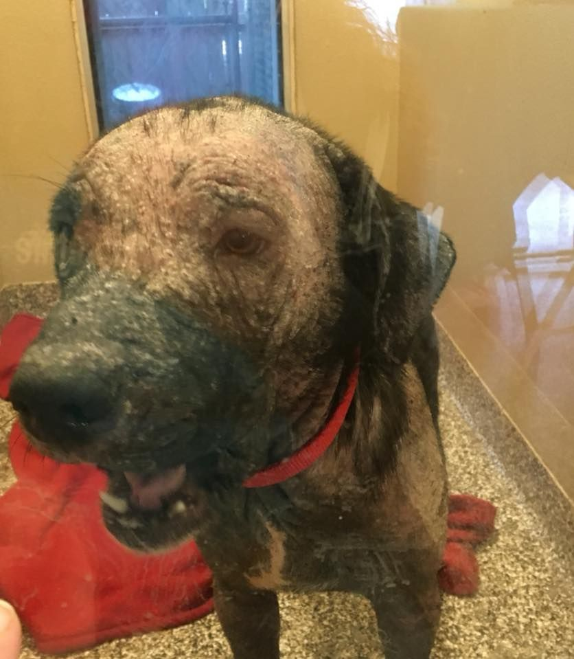 A Severely Neglected Dog Who Was Picked Up As A Stray And Then Taken To The Harris County Animal Shelter In Houston Texas May Be Re Dogs Animal Rescue Stray
