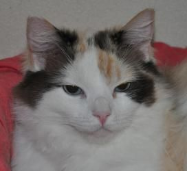 Myley is an adoptable Calico Cat in Anchorage, AK. Myley is a mellow, independent girl, who needs a while to fit in.  Once she feels comfortable, she likes to snuggle for short times, will sit in your...