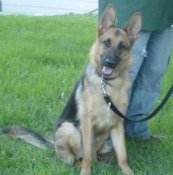 Maya Is An Adoptable German Shepherd Dog Dog In Davenport Ia