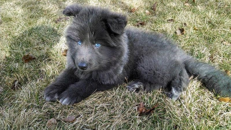 Weird Dog Breed The Blue Bay Shepherd Blue Dog Breed Blue