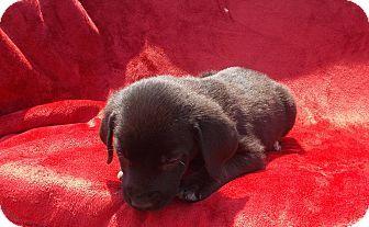 Richmond Va Labrador Retriever Golden Retriever Mix Meet Sam