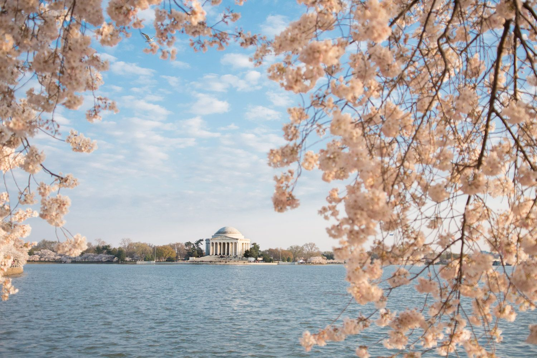 The 2021 Guide To Washington Dc Cherry Blossom Peak Bloom Cherry Blossom Washington Dc Cherry Blossom Festival Cherry Blossom
