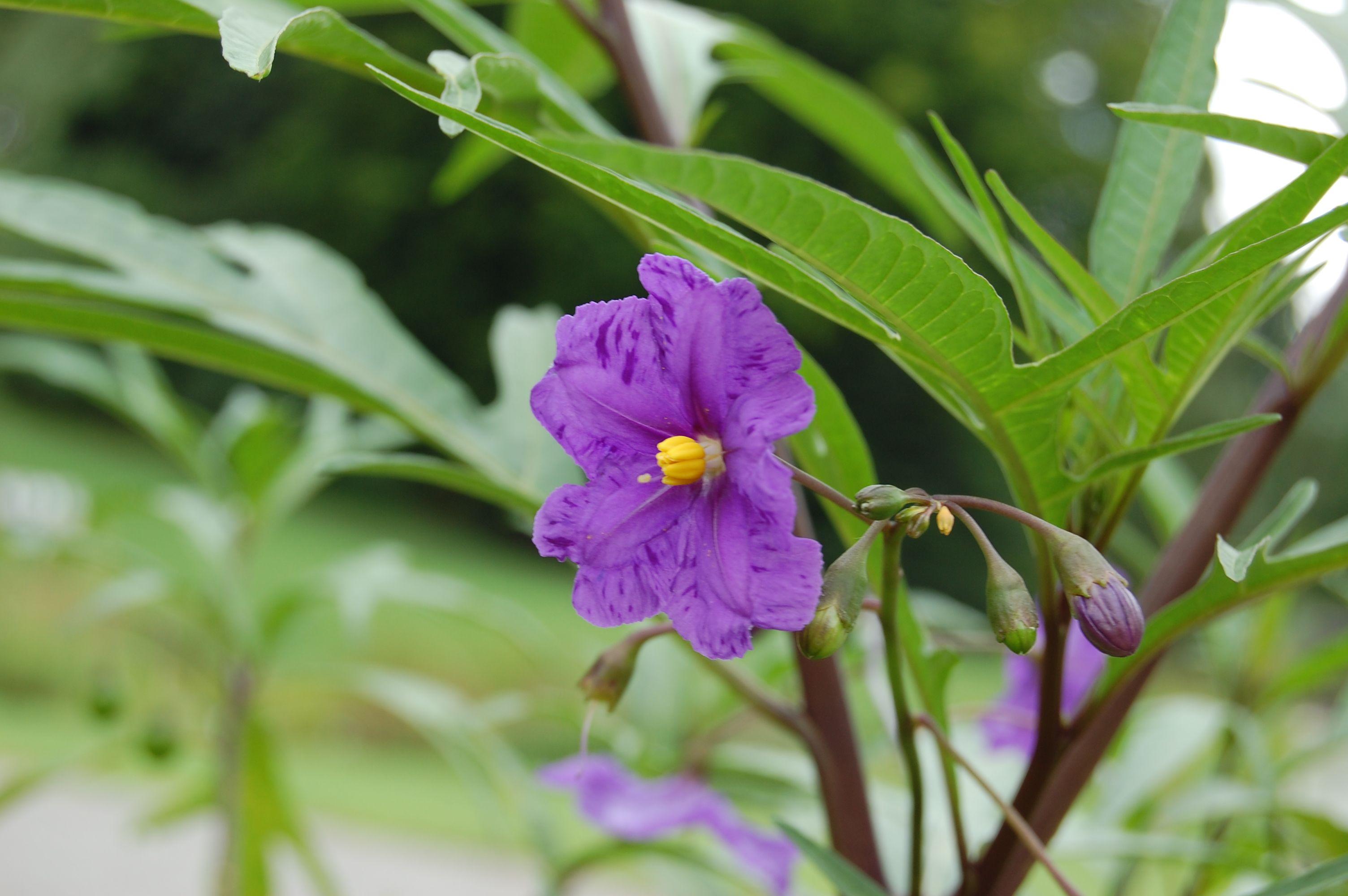 Solanum laciniatum [Family: Solanaceae]