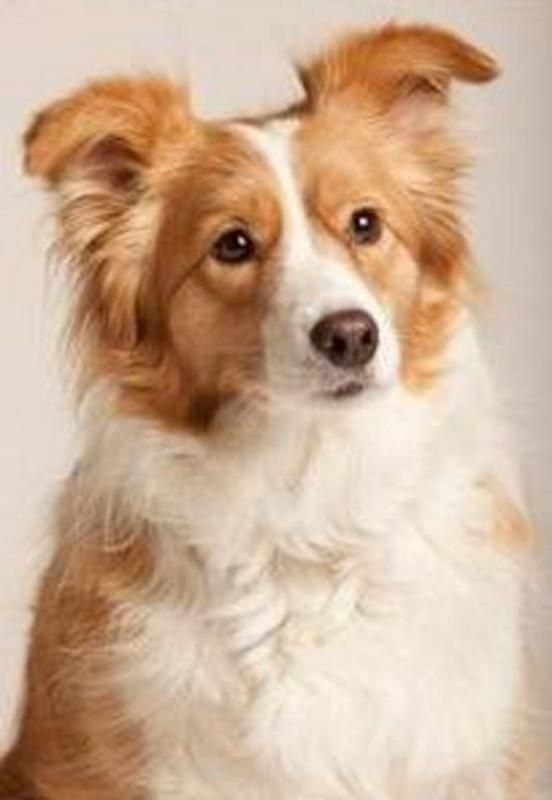 Border Collie Red Border Collie Dogs Collie
