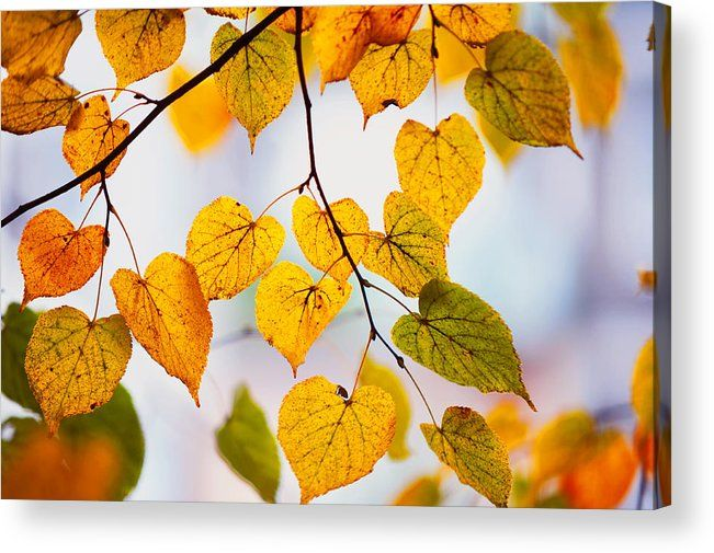 Autumn Leaves Acrylic Print by Jenny Rainbow.  All acrylic prints are professionally printed, packaged, and shipped within 3 - 4 business days and delivered ready-to-hang on your wall. Choose from multiple sizes and mounting options.
