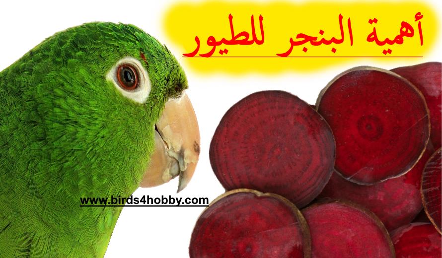 فوائد الشمندر الأحمر أو البنجر وأهميته ل طيور الزينة Parrot Animals Bird