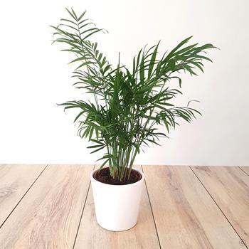 Parlour Palm Chamaedorea Elegans 1 Plant Buy Online 400 x 300